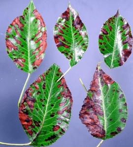 Photinia-Leaf-Spot