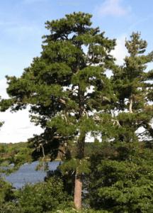 pitch-pine